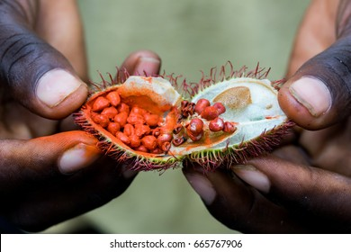Open achiote seed pod from the urucum tree used as natural lipstick on the spice tour in Zanzibar, Tanzania