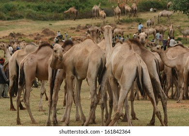 Open air camel markets, selling wild camels, are a common sight throughout much of Africa