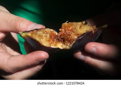 Open albanian fig held in both hands.