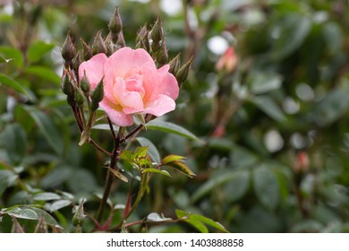 Open Arms rambling rose bloom