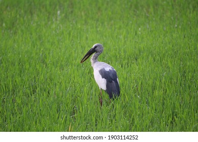 Open - billed stork stand in rice fields.It is a natural way of life of birds.looked at it as a very beautiful sight