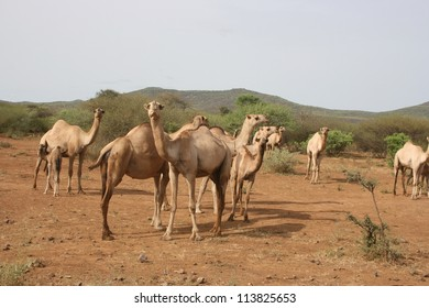 At an open field in southern Ethiopia camels are sold at auction for work animals