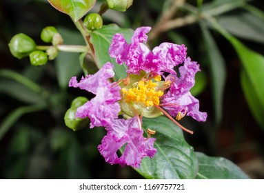 open flower of lagerstroemia indica (myrtle)