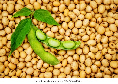 Open green soybean pod with leaves on dry soy beans background. Soy bean, close up.