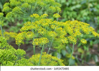 In the open ground in the garden grows vegetable dill