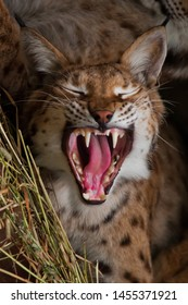 Open huge toothy red mouth of a large predatory cat lynx, the cry of a cat.