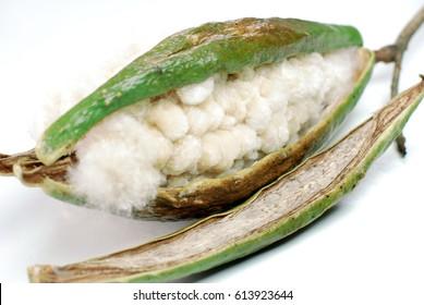 Open Kapok seed pod in white background 1