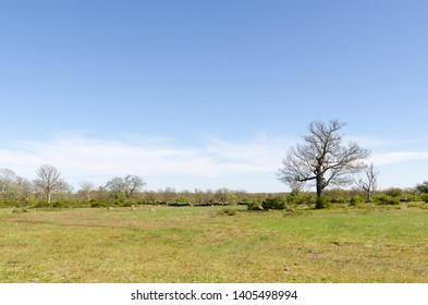 Open landscape with a big oak tree by springtime in the swedish nature reserve Horns Kungsgard at the island Oland