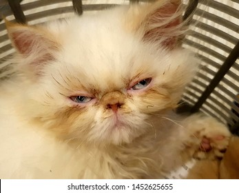 Open. Light Blue eyes (Pink eyelids) angry sleepy Yoda Look alike. Most adorable cute white fluffy Persian Cat. Super sleepy and did not want to get up and play. She tried hard to keep her eyes open.