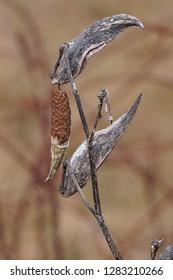 Open Milkweed Pod in Winter