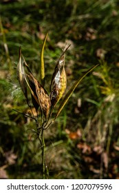 open milkweed seed pods, seeds dispersing in the fall in a wisconsin park