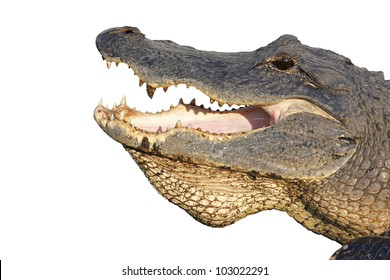Open mouth of an American alligator (Alligator mississippiensis) isolated against white