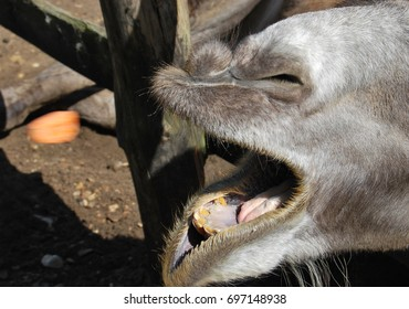The open mouth of a camel that catches a carrot