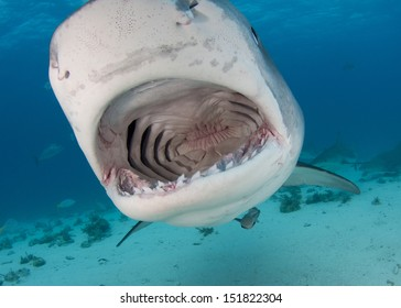 Open Mouth Tiger Shark
