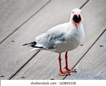 Open mouthed, angry seagull