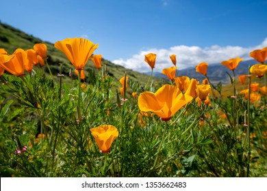 Open orange poppies bloom in Walker Canyon in Lake Elsinore California during the 2019 superbloom