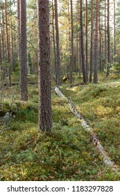 Open pine forest in Finland