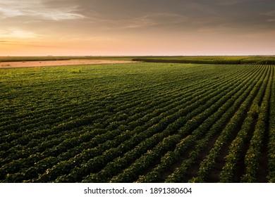 Offenes Sojabohnenfeld bei Sonnenuntergang.Sojabohnenfeld .