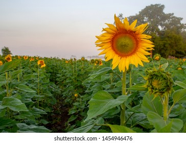 Open sunflower in field of sunflowers with morning mist and fog at dawn