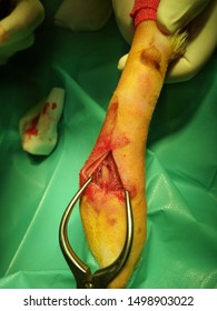 Open surgical wound of an ulnar fracture in a dog during trauma surgery.