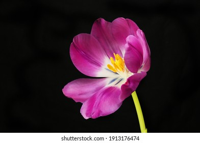 Open tulip isolated against a black background