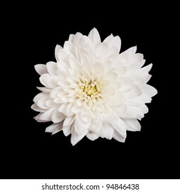 open white chrysanthemum button  isolated on black background