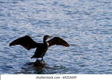 open wings great cormorant in japanese river