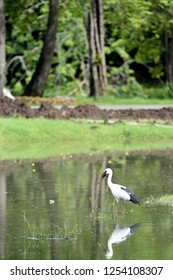 An openbill is wading in a shallow water waiting for its prey.