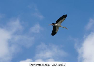 Open-billed stork or Asian open bill. Can be found in India Bangladesh and Thailand