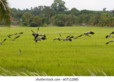 Open-billed stork flock in a green rice field