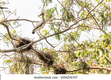 Open-billed stork have long-legged, long-necked big mouth of the public to carry out Openbill snail, which is round and smooth.Gregarious Nest on a tree near swamp.