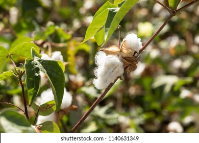 Opened cotton boll on a green branch
