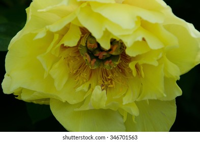 Opened Dahlia Close up