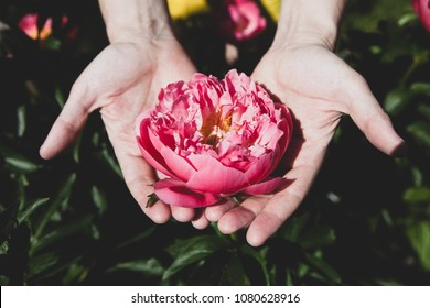 Opened pink peony in male hands on a green background.