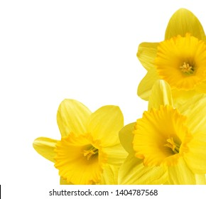 An opened yellow daffodil flowers frame bunch isolated white background