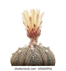 opening bud of Astrophytum asterias, Sand Dollar Cactus