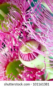 Opening bud and flowers of Eucalyptus sideroxylon. Shot from underneath.