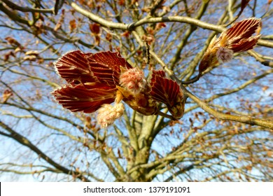 Opening buds of a copper beech tree