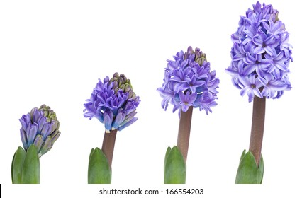 opening pink hyacinth, process over a few days, isolated on white