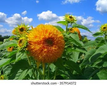 Opening Sunflowers