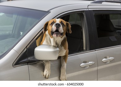 Open-mouthed Saint Bernard dog with torso out of car window barking