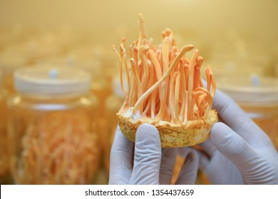 Ophiocordyceps sinensis, Cordyceps militaris in Glass bottles within light and temperature control room. Chinese medicine.