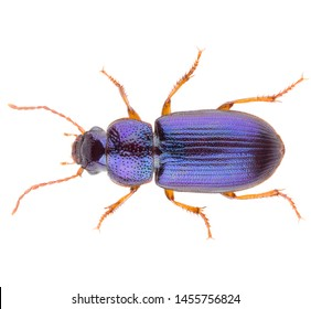 Ophonus minimus is a ground beetle in the family Carabidae. Dorsal view of isolated ground beetle on white background.