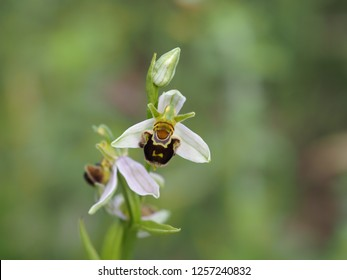 Ophrys apifera,  the bee orchid, a perennial herbaceous plant belonging to the family Orchidaceae. A remarkable example of sexually-deceptive pollination and floral mimicry.