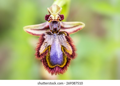Ophrys speculum, wild orchid in southern Europe