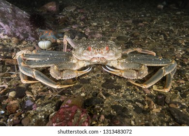 Opilio crab in the deep of East Sea