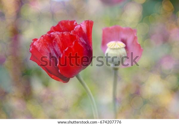 Opium flower on bokeh background, soft focus