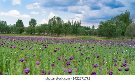 Opium poppies with purple flowers growing near Phrygia Valley Natural Park (Frig Vadisi Tabiat Parki) Afyonkarahisar, Turkey