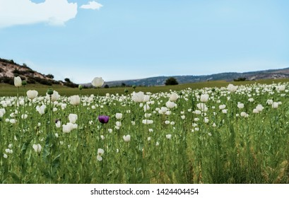 Opium poppies with white and purple flowers growing in Afyonkarahisar, Turkey