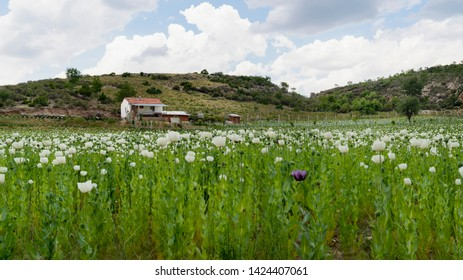 Opium poppies with white and purple flowers growing in field and a white house in background in Afyonkarahisar, Turkey